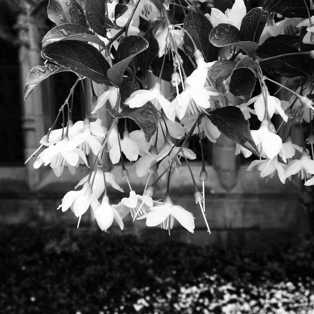 Black-and-white image of flowers on a tree outside Sterling Memorial Library at Yale
