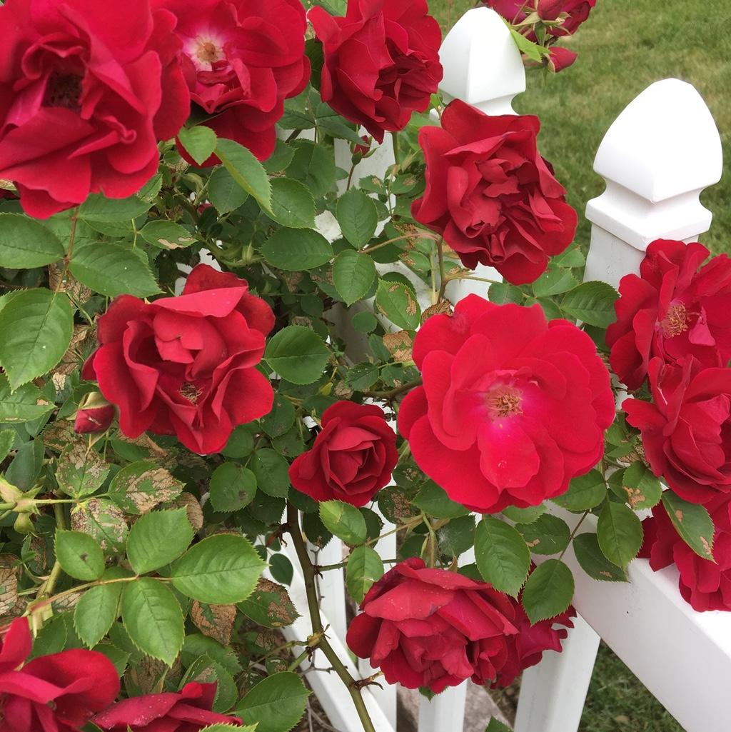 Red roses abundant on a rosebush