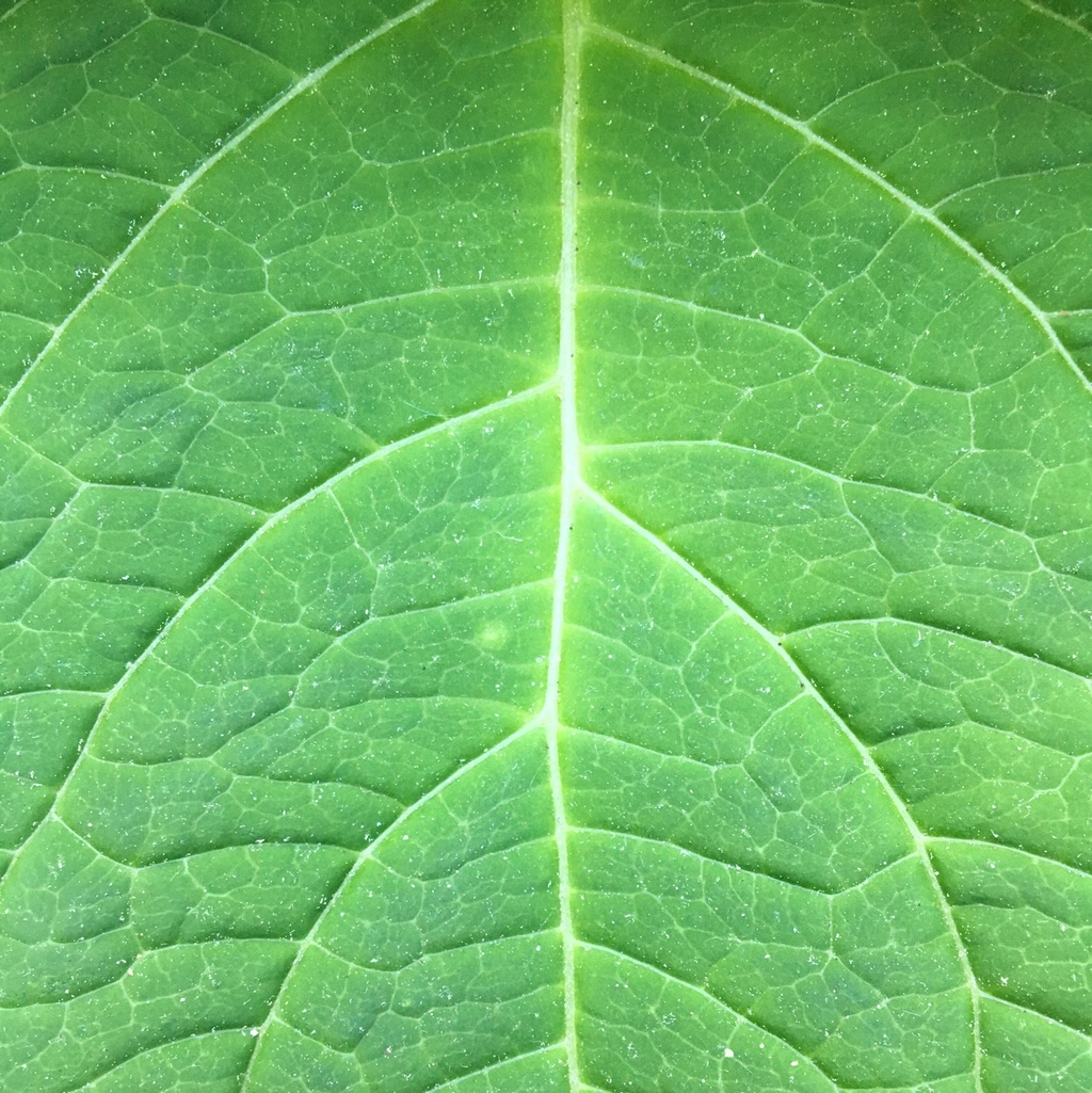 Close up of a bright green hydrangea leaf in midsummer
