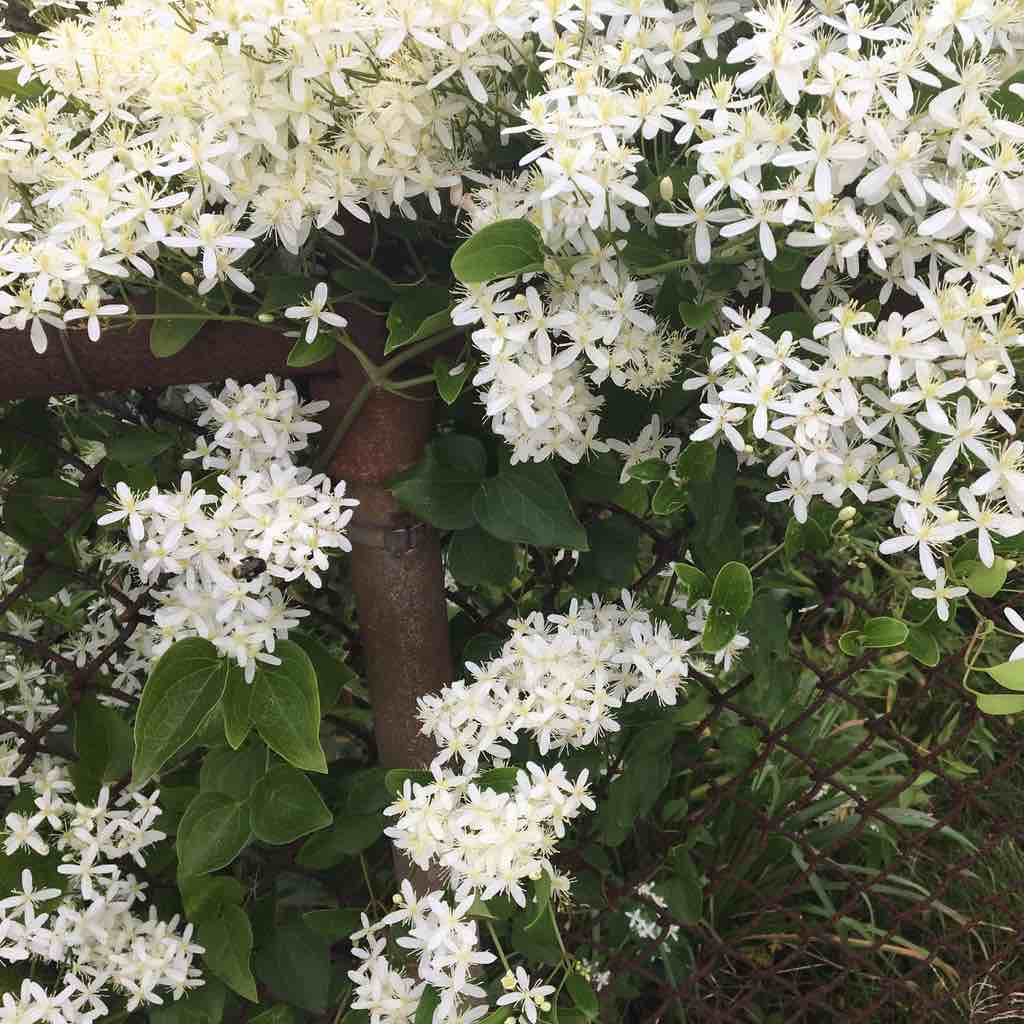 white flowers on a vine covering an old rusty chain link fence