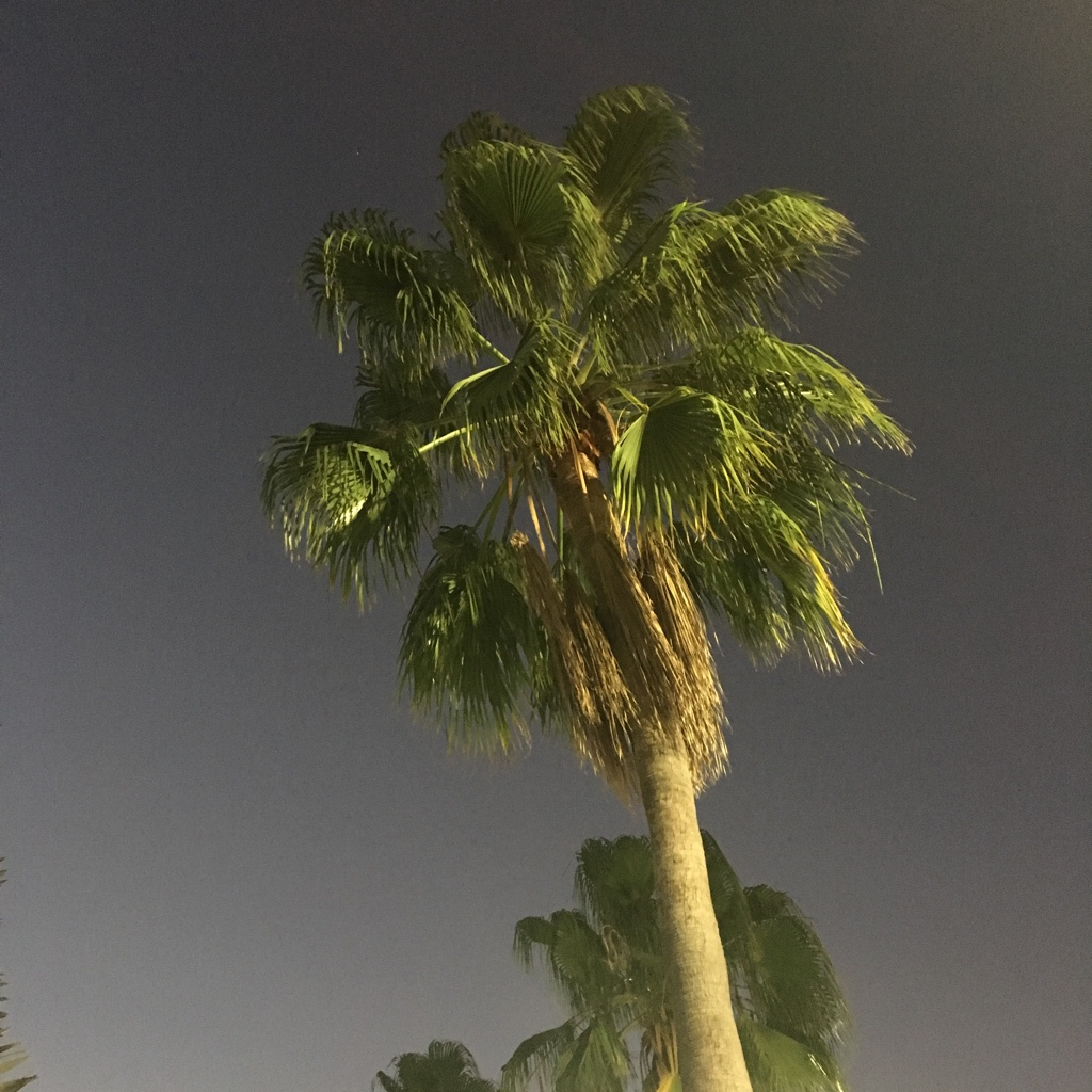 Palm tree at night, from low angle, lit